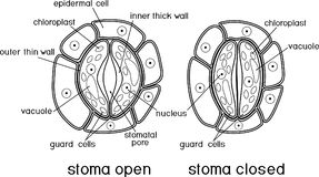 guard cells of stoma stock vector  illustration of cell