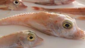 Coloriu brilhantemente os peixes de mar - bacamarte vermelho, no fundo branco vídeos de arquivo