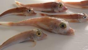 Coloriu brilhantemente os peixes de mar - bacamarte vermelho, no fundo branco filme