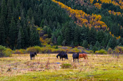 The colorized forest and horse. Which is in Bipenggou area of Sichuan province, the southwestern China. It's the famous colorized forest viewing area just like royalty free stock photos