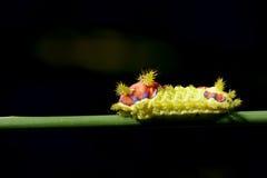 Colorized larv Royaltyfri Foto