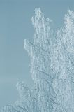 Colorized snowy birch branches winter morning Stock Photo