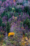 Colorized trees. The colorized grove was in sunshine which is in Miyaluo area of Sichuan province, the southwestern China. It's the famous colorized forest stock images