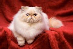 逗人喜爱的波斯奶油色colorpoint猫在红色天鹅绒说谎 库存照片