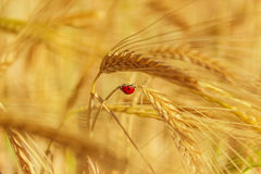 Colors of Apulia: spring. Ladybird on ear of barley.ITALY Stock Images
