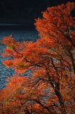 The colors of autumn. Red-leaved tree on bord of Quillen lake in Patagonia Royalty Free Stock Photo