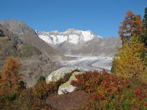 Colors Of Autumn In The Aletsch Area. Larch Forest and Aletschgletscher in the autumn stock image