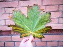 Colors of autumn. Colorful maple leave on the background wall Stock Photos