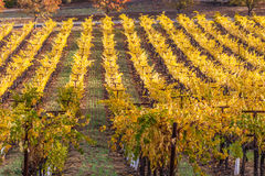 Colors of autumn. Fall season at the winery, vines with colorful yellow leaves in the wine county Royalty Free Stock Photo
