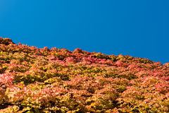 Colors of autumn - ivy leafs before blue sky Stock Images