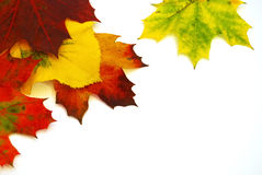 Colors of Autumn Leaves. Colorful fall leaves on isolated white background Royalty Free Stock Images