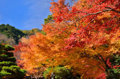 Colors of autumn leaves, Japan. Royalty Free Stock Photo