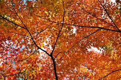 Colors of autumn leaves, Japan. Stock Photography