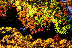 Colors of autumn leaves, Japan. Royalty Free Stock Images