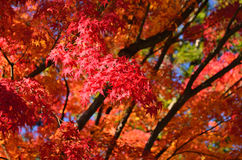 Colors of autumn leaves in Japanese garden. Japan. Royalty Free Stock Photo