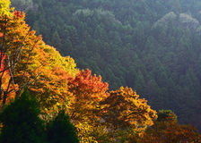 Colors of autumn leaves. The natural scene of leaves changing their colors into red and yellow, Arashiyama district of Kyoto Japan autumn Stock Images