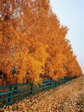 Colors of autumn. A lot of yellow, almost orange leaves on the birches royalty free stock image