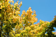 Colors of autumn - maple leafs before blue sky Stock Photography