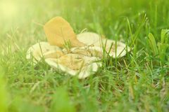 The colors of autumn in the morning scenery. Yellow birch leaf is on the family of white field mushrooms in the green grass Royalty Free Stock Photo