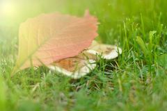 The colors of autumn in the morning scenery. The yellow and red aspen leaf lies on a family of white field mushrooms in the green grass. beautiful fall morning Royalty Free Stock Photography
