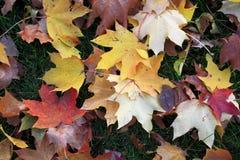 Colors of autumn season in Mazovia region in Poland. Colorful leaves and tress in autumn season in Mazovia region in Poland Stock Images