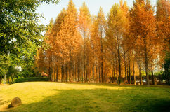 The colors of autumn. The autumn season, the metasequoia leaves yellow, a piece of golden color Stock Images