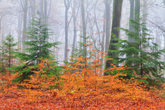 Colors in the autumn season. Vibrant autumn colors in the forest in the Netherlands on a misty day Royalty Free Stock Image