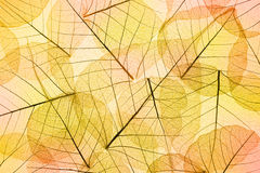 Colors of Autumn - Transparent  Leaves Background Stock Photo