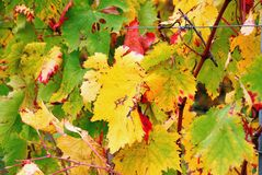 Colors of autumn in the vineyard Stock Images