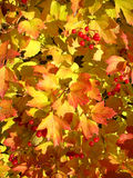 Colors of autumn. Yellow and red leaves of viburnum Stock Images