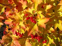 Colors of autumn. Yellow-red leaves of viburnum stock image