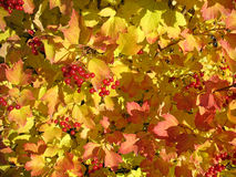 Colors of autumn. Yellow and red leaves of viburnum royalty free stock photos