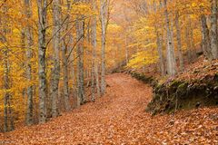 Colors of a beech forest in autumn stock image