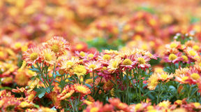 Colors of chrysanthemums in the garden.  Royalty Free Stock Images