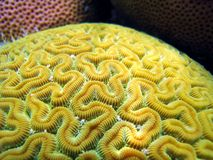 Colors of coral. Close up view of Grooved Brain Coral, Caribbean sea, Bocas del Toro, Panama Stock Images