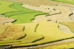 Colors and curves of the rice terraces Stock Photography