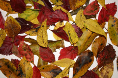 Colors of fall. A collection of fall leaves on a white background stock images