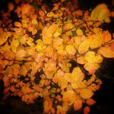 Colors of fall. Colorful orange leaves in fall Royalty Free Stock Image