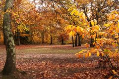 Colors of Fall in Enlgish woodland glade stock photography