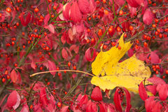 The colors of fall. Fallen maple leaf surrounded by autumn foliage and berries stock images