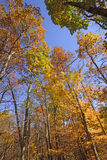 The Colors of Fall in the Tall Trees Royalty Free Stock Images