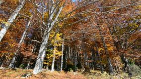 The colors of the forest and the leaves falling from the wind. All autumn colors in forests stock footage