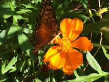 A monarch butterfly with Cosmos caudatus. The colors are interspersed between the Cosmos Caudutus and the monarch butterfly with in the garden of a house in the royalty free stock photos