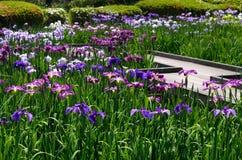 Colors of Japanese iris garden, Kyoto Japan summer. Stock Photos