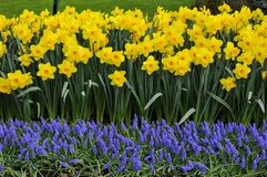 The colors of the narcissus vary from yellow to white Stock Images