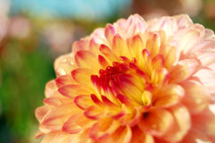 Colors in Nature. Bright dahlia glowing in the morning sun royalty free stock photo
