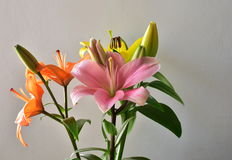 Colors of nature, Beautiful colorful lilies isolated on a white background Royalty Free Stock Photography