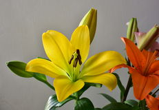 Colors of nature, Beautiful colorful lilies isolated on a white background Royalty Free Stock Image