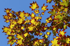 Free Colors Of Autumn In A Landscape. Colored Leaves In Sunlight And Blue Sky In Background Stock Photos - 44838733