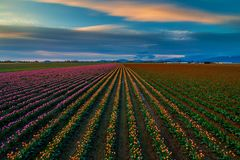 Free Colors Of Tulip Rows In The Skagit Valley, Washington State Stock Photos - 115508413